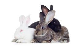 Three rabbits. Three rabbirs white, grey and black shot against white background Stock Image