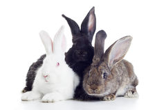 Three rabbits Stock Photography