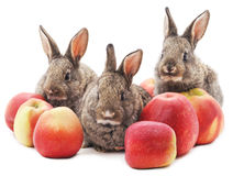 Three rabbits with apples. Royalty Free Stock Photos