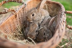 Three rabbits in basket on farm. Outdoor Royalty Free Stock Images