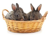 Three rabbits in a basket. Royalty Free Stock Images