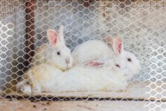 Three rabbits in cage Royalty Free Stock Images