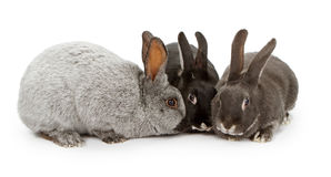 Three Rabbits of Different Colors Stock Photography