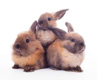 Three rabbits isolated on the white. Royalty Free Stock Photos