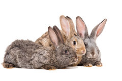 Three rabbits Royalty Free Stock Photos