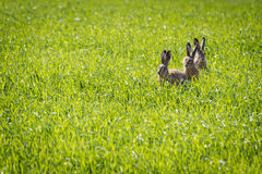 Three rabbits sitting in a meadow Royalty Free Stock Photo