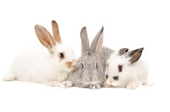Three rabbits together Royalty Free Stock Photo