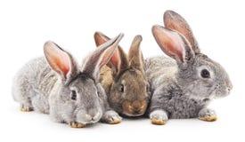 Three rabbits. Royalty Free Stock Photo
