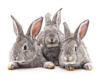 Three rabbits. Royalty Free Stock Images