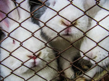 Three rabbits in a cage. 3 white rabbits behind the steel net Stock Photos