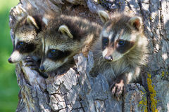 Three raccoons. Exploring outside their den stock image