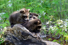 Three raccoons in a hollow log Royalty Free Stock Photography