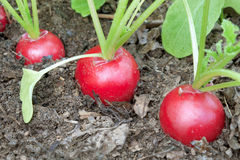 Three radishes on a bed garden Stock Photos