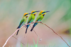 Three Rainbow bee-eaters royalty free stock images