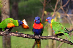 Three rainbow lorikeet Royalty Free Stock Images
