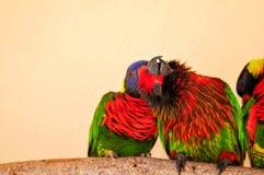 Three Rainbow Lorikeet birds Royalty Free Stock Photography