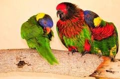 Three Rainbow Lorikeet birds, Florida Royalty Free Stock Image