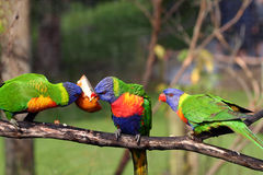 Three rainbow lorikeet eating Stock Image