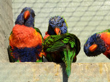 Three Rainbow Lorikeets Royalty Free Stock Photo