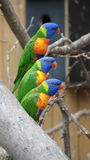 Three rainbow parakeets in line Royalty Free Stock Image