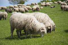 Three rams in a line Stock Image