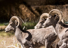 Three Rams on the Move Royalty Free Stock Image