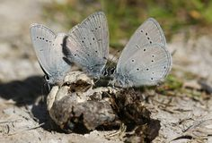Three rare Small Blue Butterfly, Cupido minimus, feeding on animal faeces on the ground. Three pretty rare Small Blue Butterfly, Cupido minimus, feeding on stock images