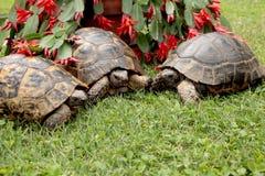 Three rare terrestrial turtles in a garden. Rare terrestrial turtles in a garden royalty free stock photo