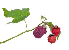 Three raspberries with green leaves Royalty Free Stock Photography