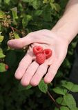 Three raspberries on man's palm Stock Photography