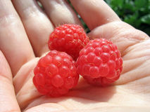 Three raspberries on woman's palm close up Stock Photos