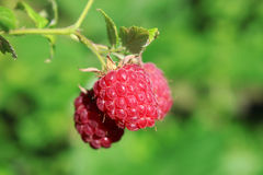 Three raspberry Stock Photo