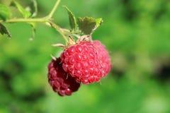 Three raspberry Stock Photo