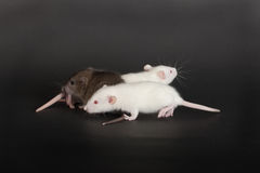 Three rats. Very small young rats on a black background Royalty Free Stock Photo