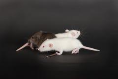 Three rats Royalty Free Stock Photo