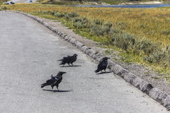 Three raven on the street stock photo