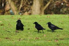 Three ravens on green grass. Three black ravens on green grass. Trees in background Stock Image