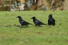 Three ravens on green grass. Three black ravens on green grass. Trees in background Royalty Free Stock Images
