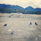 Three ravens and small dog. Small brown and white dog standing in gravel covered area with three large black ravens. Rooftop, trees, mountains and cloudy sky Royalty Free Stock Photography