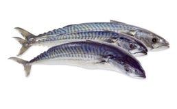 Three raw atlantic mackerels on a light background Stock Photos