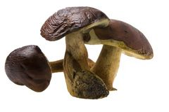 Three raw boletus badius Stock Photo