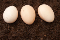 Three raw eggs on the soil Royalty Free Stock Photography