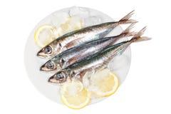 Three raw mackerel in ice and lemon. Royalty Free Stock Photography