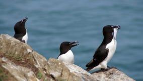 Three razorbills with glaseels on Skomer Island Stock Photo