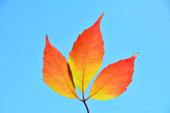 Three red leafs in the sun. Stock Photo