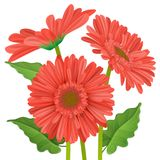 Three realistic red gerbera daisy flower. Three gerbera daisy flower with red petals in different position with green leaf. Vector illustration isolated on white Stock Images