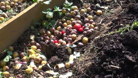 Three red admiral butterflies feeding on rotting fruit stock footage