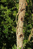 Three Red Admiral butterfly on tree (Vanessa atalanta). Three Red Admiral butterflies basking in the sun on a tree (Vanessa atalanta royalty free stock image
