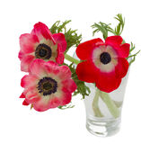 Three red anemone flowers Royalty Free Stock Image