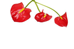 Three red anthurium flowers isolated. With text space royalty free stock photo